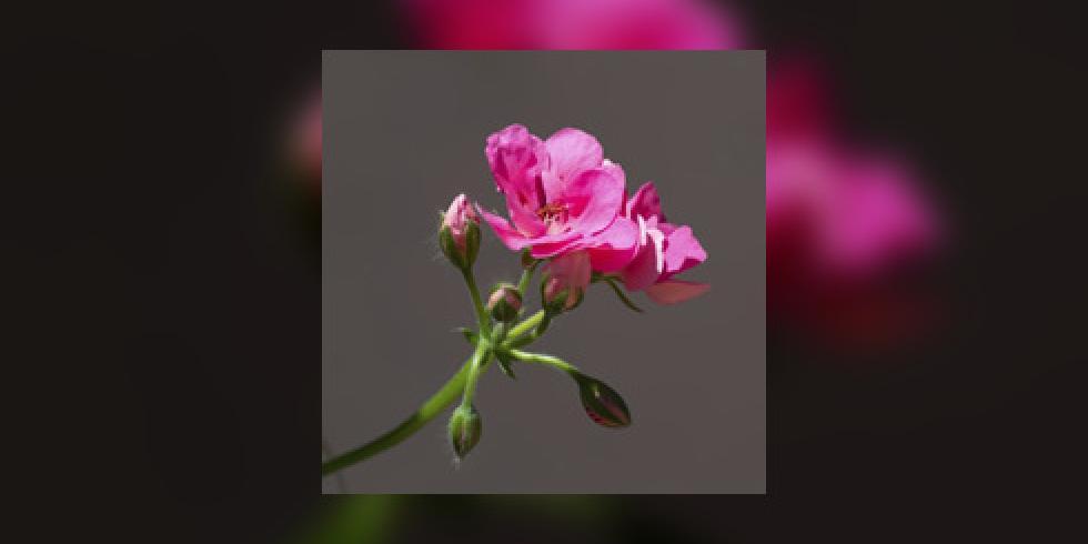 huile essentielle de g ranium rosat cicatrisation mycose acn beaut de la peau le. Black Bedroom Furniture Sets. Home Design Ideas
