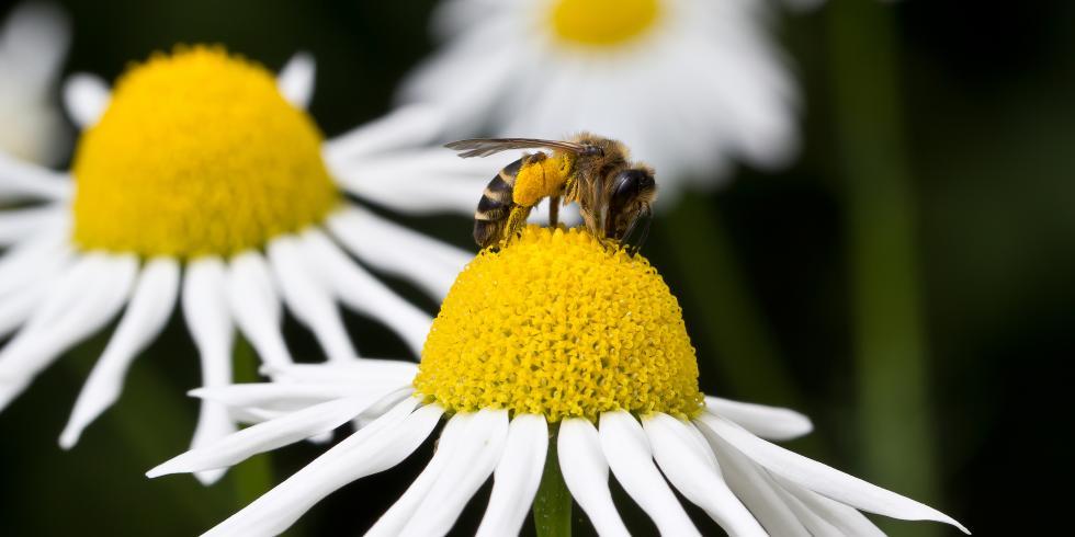 allergie aux piq res de gu pe d 39 abeille choc anaphylactique e e sant. Black Bedroom Furniture Sets. Home Design Ideas